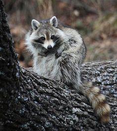 Raccoon Preening Time, via Flickr.