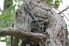 Tawny Frogmouths with Baby