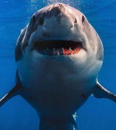 Whiteshark - shark - requin - greatwhite