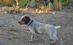 We are proud to be breeders of the exceptional Braque du Bourbonnais hunting dogs since 2003 and to offer this incredible pointer to the serious hunter.