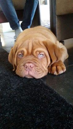Onze Fons#bordeauxdog#love