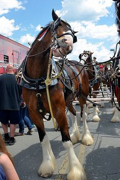 *A Clydesdale selfie. Smile pretty for the camera! Big Horses, Funny Horses, Horse Love, Show Horses, Black Horses, All The Pretty Horses, Beautiful Horses, Animals Beautiful, Cute Animals