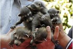 Oh my a handful of baby raccoons. my brother Scott brought home 2 baby raccoons. Baby Raccoon, Cute Raccoon, Racoon, Animals And Pets, Baby Animals, Cute Animals, Pond Animals, Strange Animals, Nature Animals