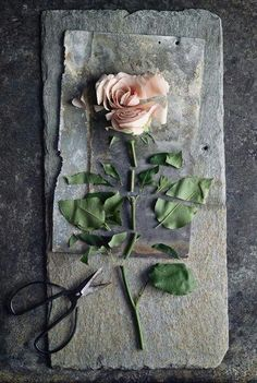 Torn apart rose - dissecting other objects? Ideas of broken love, interests…