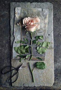 Torn apart rose