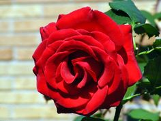 Veterans Honor. What is the Best TRUE red rose??