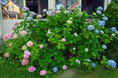 Since there are various types of hydrangea bushes, pruning instructions may vary slightly. Pruning hydrangea bushes is not necessary unless the shrubs have become overgrown or unsightly. Click here for more.