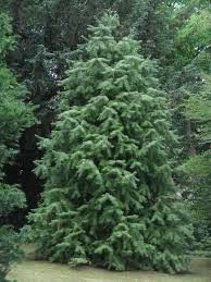 Cunninghamia Lanceolata China-Fir 10 seeds