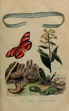 image - high resolution image from old book.Size in pixels: Old Book Pages, Reproduction, Art Clipart, Flora And Fauna, Paper Cover, Picture Collection, Scrapbook Paper Crafts, Old Pictures, Wall Collage