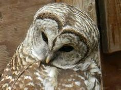 north west us owls - Bing Images
