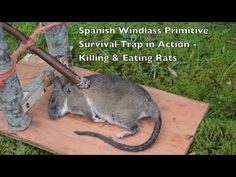 Spanish Windlass Survival Trap in Action. Killing and Eating Rats. - YouTube