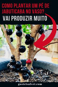 Como plantar um pé de jabuticaba no vaso? Vai produzir muito – GosteiSalvei Plantas Bonsai, Incredible Edibles, Unusual Plants, Fruit Trees, Healthy Habits, Vegetable Garden, Gardening Tips, Succulents, Home And Garden