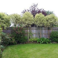 Ligustrum Japonicum Excelsa Superba / English Woodlands Burrow Nursery Blog