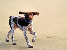 german shorthaired pointers | German shorthaired pointer trotting