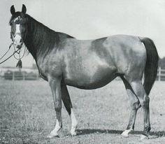 WILGA (Ofir x Jaskolka II, by Koheilan I) 1938 bay mare Tail female of US National Champion *KAWALKADA