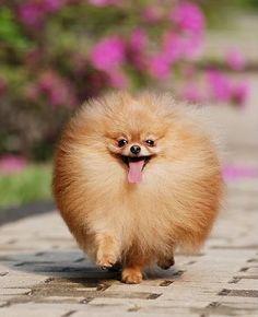 Pomeranian - my future baby!