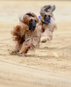 ©CAROLINE SEIDEL/EPA/MAXPPP - epa04764884 Muzzled Afghan hounds race around the sandy circuit of the Windhunderennen- bahn in Gelsenkirchen as they compete in the Gelsenkirchen Grand Prix 24 May 2015  #photo #photos #pic #pics #picture #pictures #snapshot #art #beautiful #instagood #picoftheday #photooftheday #color #all_shots  #composition #capture #moment #photographie #photography #photojournalisme #photojournalism #animal