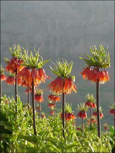 Die sehen wie Kürbisblumen aus? Kaiserkrone (Fritillaria imperialis) These look like pumpkin flowers. By Hassan Mohammadi Asl on Flickr.