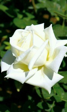 how to plant hybrid tea roses Beautiful Rose Flowers, Exotic Flowers, Colorful Flowers, White Flowers, Beautiful Flowers, Rose Foto, Most Popular Flowers, One Rose, Rose Pictures