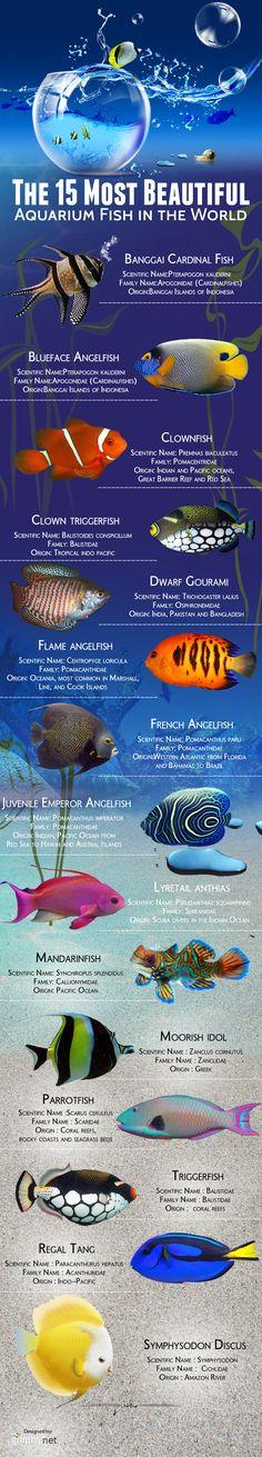 Platy Class PECES DE ACUARIO Pinterest Aquariums