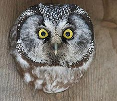 The boreal owl is a smallish, secretive owl found in high altitude forest zones…