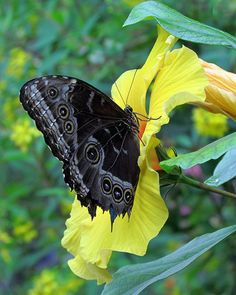 Morpho Butterfly On Yellow Hibiscus