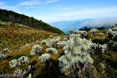 Edelweiss Fields - Alun Alun Surya Kencana, Mt. Gede Volcano (2.958 m), Gede - Pangrango National Park, Bogor - Sukabumi - Cianjur | West Java - Indonesia    By: Andri Suanto