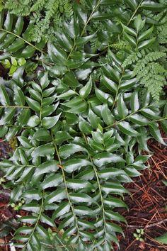 Dwarf Holly Fern for sale buy Cyrtomium falcatum var. Fairy Garden Plants, Cottage Garden Plants, Gnome Garden, Pond Plants, Aquatic Plants, Best Perennials, Hardy Perennials, Flowers Perennials, Fern Plant