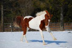 Pinto Horse ~ Beautiful Horses