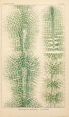 Batrachospermum moniliforme. From: British fresh-water algae, exclusive of Desmidieae and Diatomaceae, by M. C. Cooke