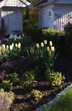 Tulpanen 'White Emperor' (Purissima) återkommer bra och blommar mycket länge.