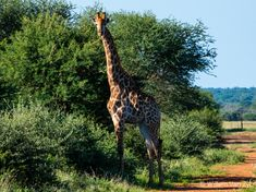 Some Giraffes I saw whilst on a walk in Limpopo, South Africa Giraffes, I Saw, Wildlife Photography, Mammals, South Africa, Photos, Pictures, Giraffe, Nature Photography