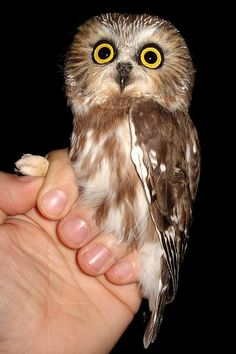 Saw Whet owl looking rather startled.