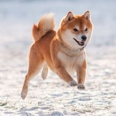 Prancing through the week like a Shiba Inu in the snow!