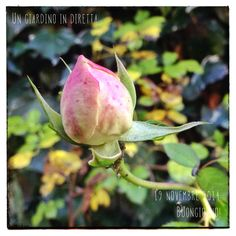 in diretta dal giardino: rosa rampicante Pierre de Ronsard Buongiorno giardinieri! #giardino #giardinoindiretta #autunno #rose
