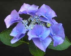 Hydrangea macrophylla 'Nachtigall', translates to 'Nightingale'. Bred in Switzerland in 1979.  A vigorous grower, up to 1.5m, with large (150mm) lacecap flowers. Best when grown as a 'blue' by feeding with aluminium sulphate.