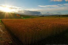 The rays of the setting sun above a wheat field in the high limestone plateaus of the Cevennes - Causse Mejean, Cevennes, middle France mountains