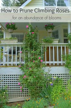 Rose Garden Pruning Climbing Roses for optimum bloom by a rebel gardener! I found most rose pruning methods are not always correct in my climate and type of roses! So come see how I get tons of roses on my climbers every year. Pruning Climbing Roses, Pruning Roses, Climbing Flowers, Climbing Rose Trellis, Pruning Plants, Easy Garden, Garden Tips, Garden Ideas, Side Garden