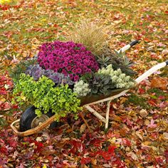 This wheelbarrow highlights seasonal purple mums, purple flowering kale and the purple-tinged leaves of bugleweed. 'Fox red' curly sedge adds a dramatic spray behind the mums. Other plants include trailing bacopa, spurge and spiky santolina.