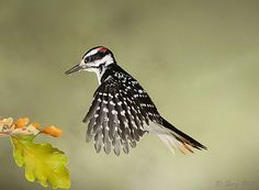 Hairy Woodpecker - Incredible images of birds in flight, captured with a special camera set-up.  Amazing movements of birds Gerry Sibell has been able to immobilize