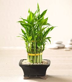 Feng Shui *loves* houseplants!  They're the quickest way to lift the vitality of your home.    In Feng Shui, plants enhance the Wood element, create fresh Chi energy, and add a sense of healthy growth to any environment.    The Wood element is also associated with Wealth and New Beginnings on the Bagua Map, so you'll always want to have healthy Wood energy in your space.