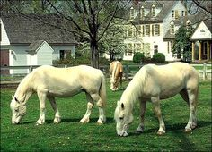 American Cream Draft Horses, Part of the Rare Breeds Program. Only 500 Still Exist in North America.