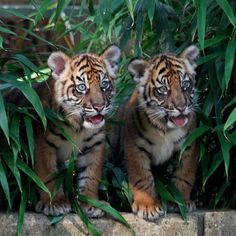 Amazing wildlife - Tiger cubs ,two brothers Big Cats, Cats And Kittens, Cute Cats, Siamese Cats, Cute Baby Animals, Animals And Pets, Funny Animals, Wild Animals, Tiger Pictures