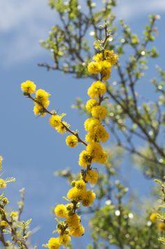Vara florida de espino (Acacia Caven)