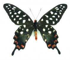 giant swallowtail butterfly Pharmacophagus (papilio) antenor SET TS M x1 A1- | eBay