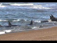 """""""Orcas del Chubut"""" por Roberto Bubas - YouTube"""