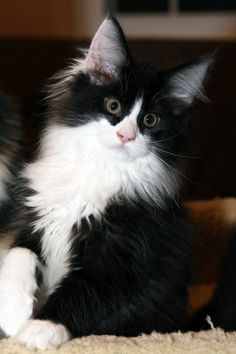 Maine Coon Black and White http://www.mainecoonguide.com/male-vs-female-maine-coons/