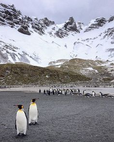 The King Penguins of South Georgia Island. Pic @linsenundpartner Discover Antarctica on a unique Akademik Vavilov cruise http://ift.tt/29T7Ydd or Click on the link in our bio