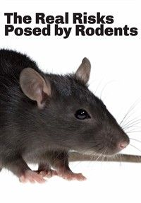 Brown Rat Vs Brown Rat Education Rodents Rodents 101