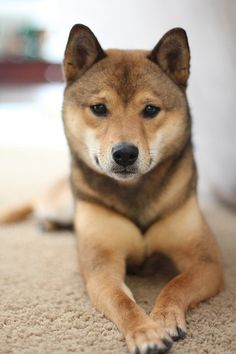 A magnificent sesame shiba inu. Look at that face.